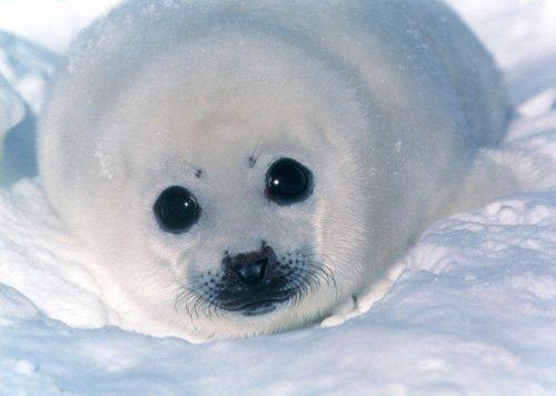 cria de foca Focas parecidas a peluches