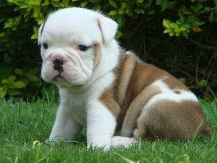 Bull dog inglés bebés - Imagui