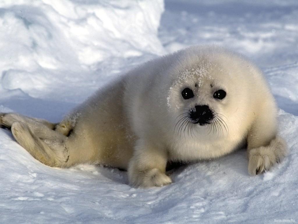 foca bebe blanca 1024x768 Focas parecidas a peluches