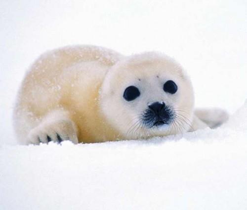 xxviii ecologia foca bebe e1391718433183 Focas parecidas a peluches