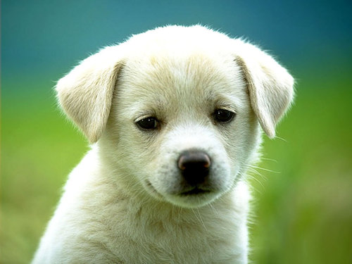 perro tierno labrador cachorro