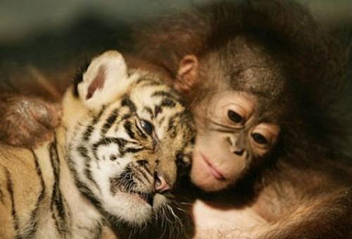 bebe tigre y bebe orangutan