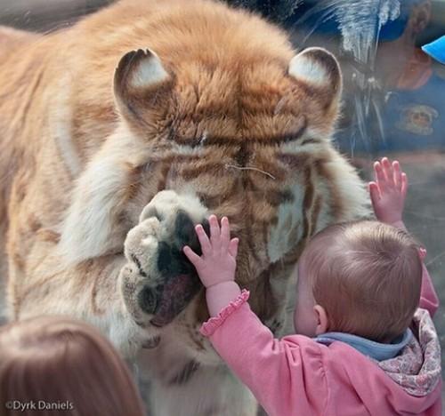 Tigre y niño