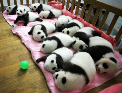 Osos pandas bebes