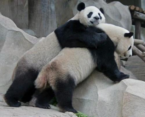 panda-imangen da amistad