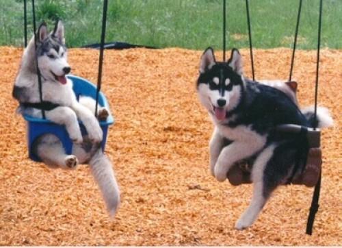 perros-husky-columpios