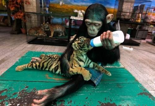 Mono alimenta a tigre
