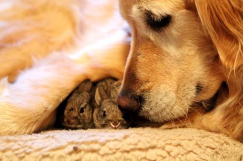 perro cuidando conejitos