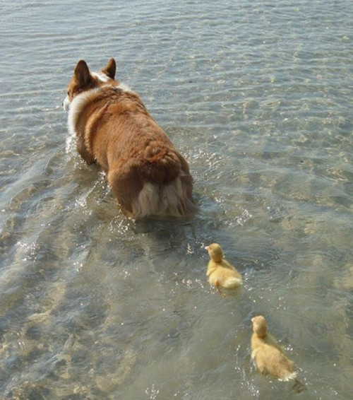 perro diriginedo a patitos