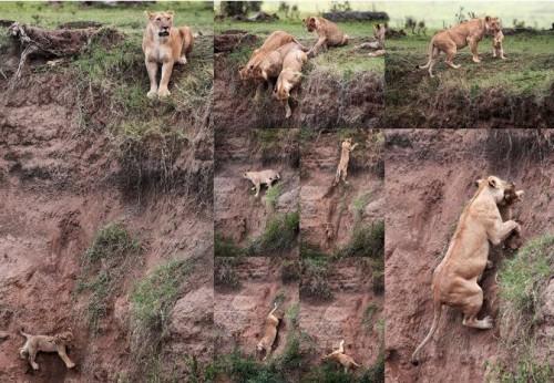 leona salvando cria