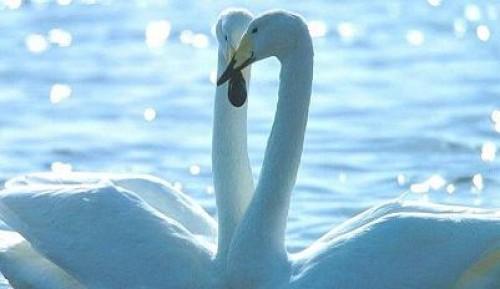 Imagen de cisnes