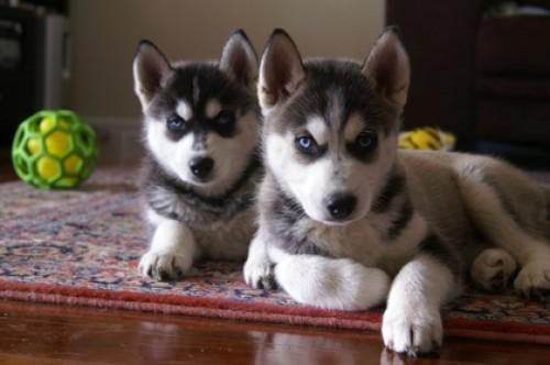 baby_huskies