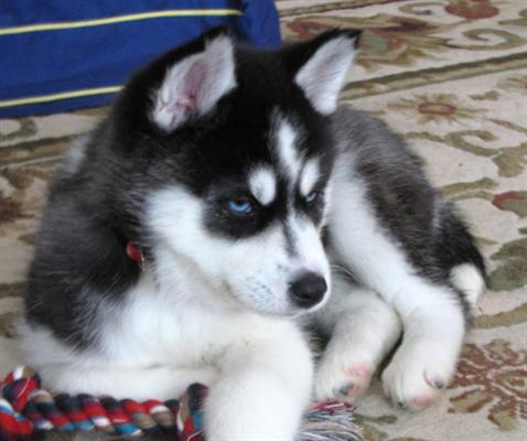 cachorro-de-husky-siberiano