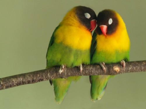 Amor de Pericos