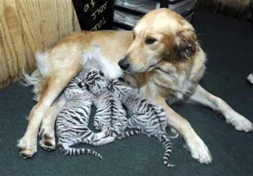 Adopted Tigers