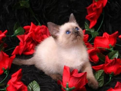 -gatitos con rosas