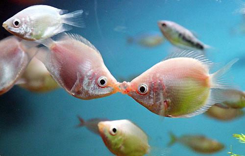 peces-besandose