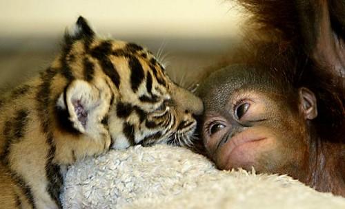 tigre y mono