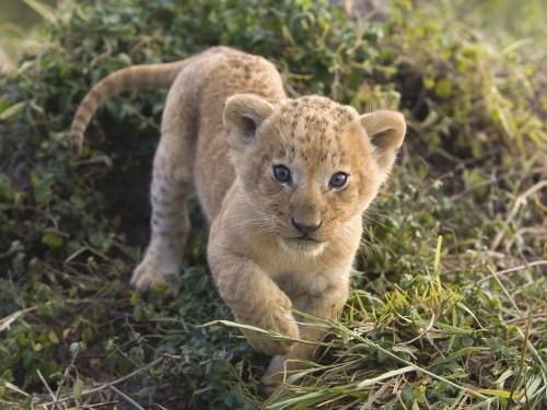 tigres-bebe