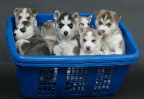 cachorros Huskys