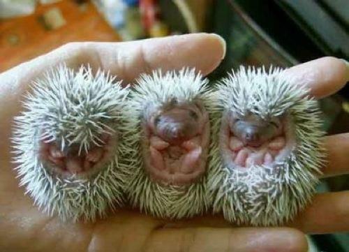 bebe de puercoespín1