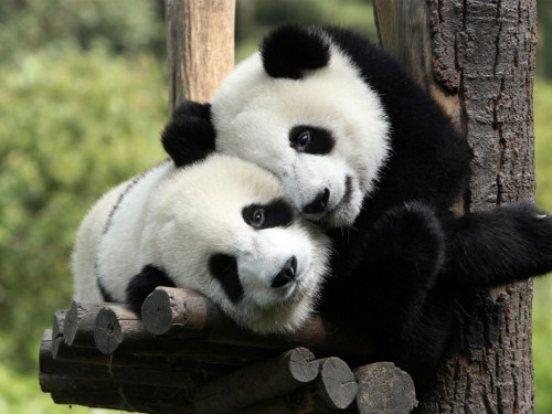 los-pandas-en-el-amor-wallpapers_20559_1024x768