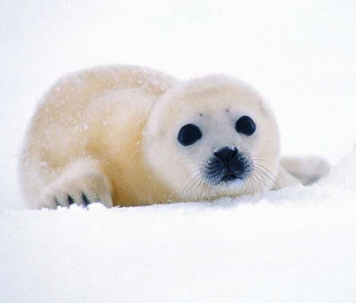 xxviii_ecologia_foca-bebe